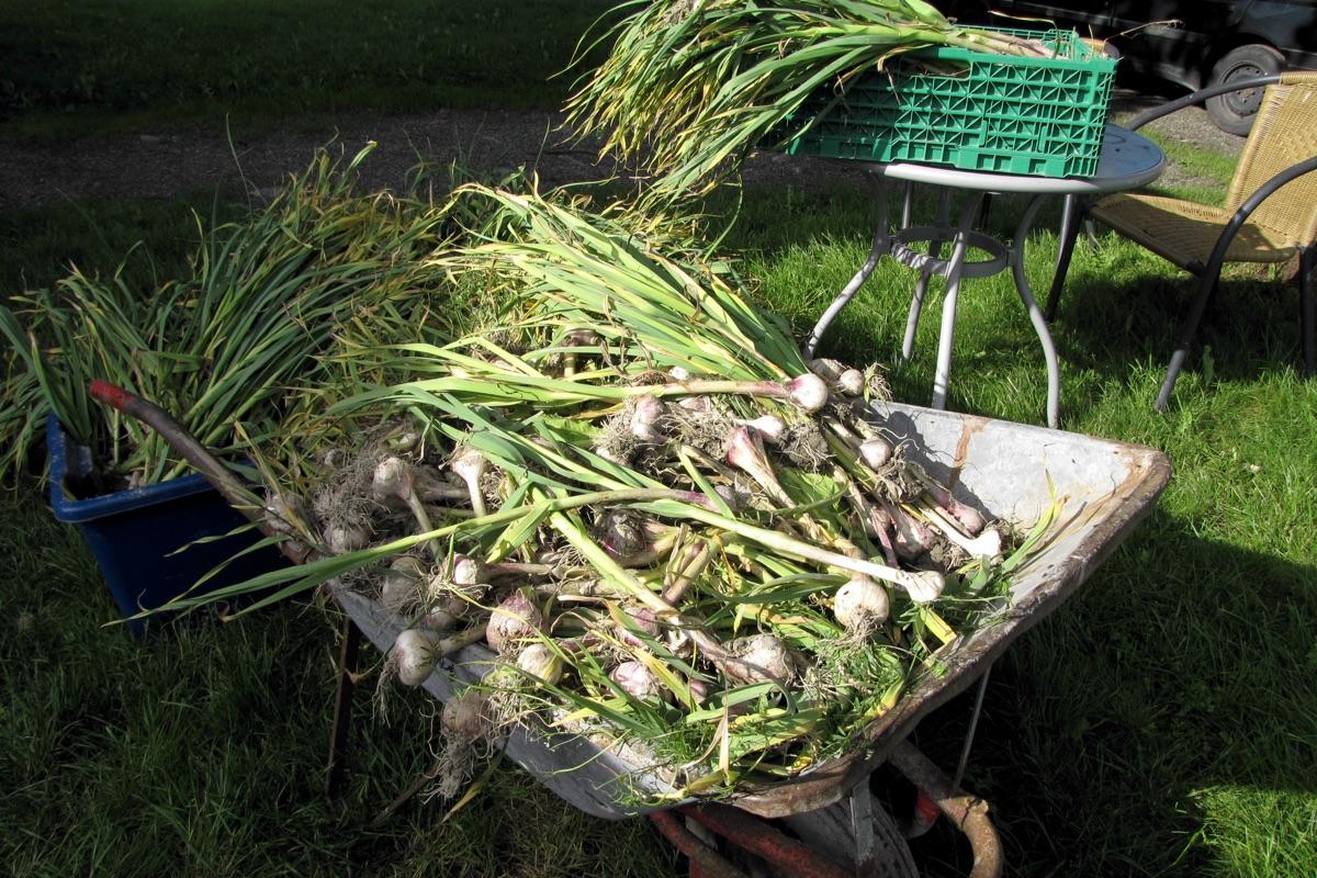 Innhøsting av hvitløk